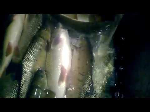 მტკვრის ცოცხალი თევზი