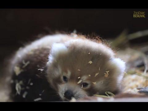 Spécial Bébés ! Petit panda roux déménage. Beauval, un œil en coulisse - Ep8
