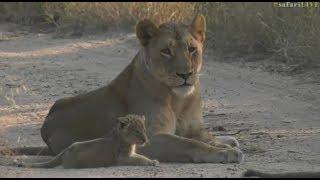 Safari Live : The Nkuhuma Pride on drive this morning with a new Cub June 06, 2017 thumbnail