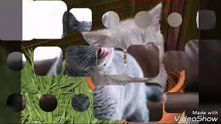 Британские кошки и питомцы одной девушки