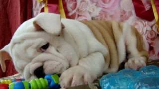 English Bulldog Puppies For Sale , Breeders