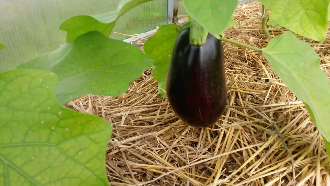 Выращивание баклажанов в тепличных условиях