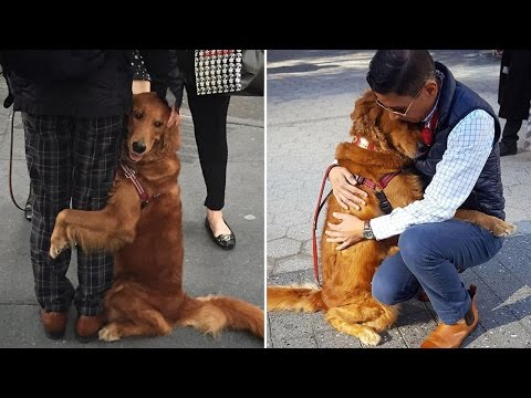 Loving Golden Retriever Gives Hugs And Handshakes To People On The Street