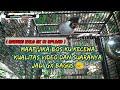 Ngabuburit Sambil Dengerin Si Bongsor Kutilang Gacor  Mp3 - Mp4 Download