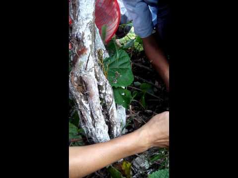 Kỹ thuật chọn và bắt ong chúa rừng