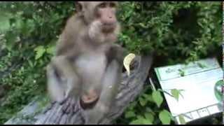 Смешные животные  Видео жадная обезьяна