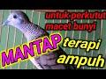 Suara Perkutut Lokal Gacor Cocok Untuk Pikat Dan Pancingan  Mp3 - Mp4 Download