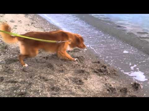 Dog afraid of the Ocean Waves! (as seen on TV!)