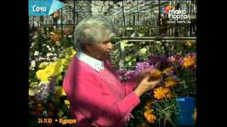 Новые сорта хризантем выводят в Сочи(Другие видеосюжеты этой рубрики: http://maks-portal.ru/kurort/yuzhnaya-stolitsa В теплицах НИИ цветоводства за 4 года селекции..., 2010-11-24T17:06:35.000Z)