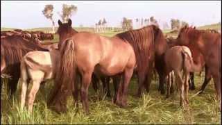 Казахские лошади Мугалжарская порода