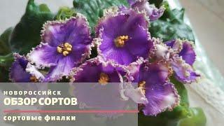 Купить сортовые фиалки в Новороссийске