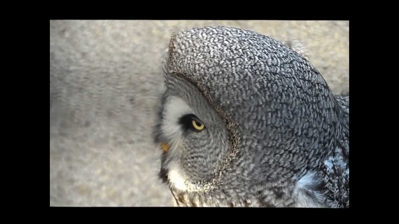 The call of the Great Grey Owl - YouTube