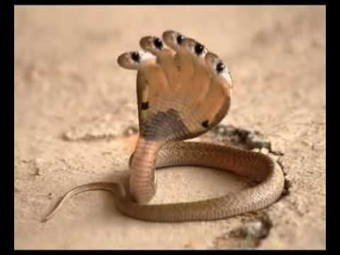3d Dangerous Snake Wallpaper Desktop Five Head Snake Hd Flv Youtube