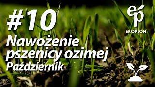 Nawożenie pszenicy ozimej jesienią | W pole z Ekoplonem #10