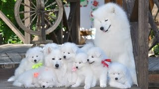 Самоед Самоедская собака