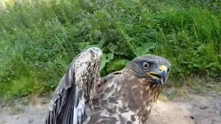 Добро пожаловать отсюда! Выпуск пострадавших  ранее птиц в природу.(, 2017-08-13T22:07:02.000Z)