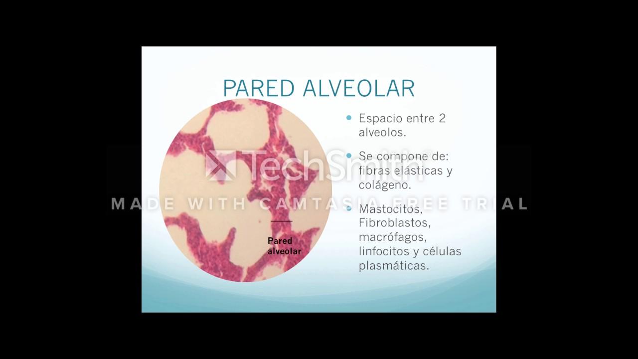 HISTOLOGÍA DE ALVEOLOS - YouTube