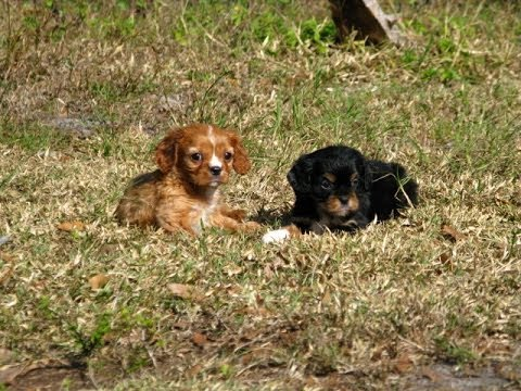 Cavalier King Charles Spaniel, Puppies, Dogs, For Sale, In Montgomery, Alabama, AL, 19Breeders