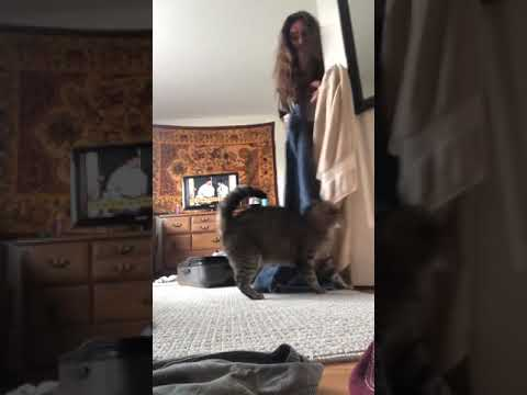 Cat attacks its owner after she tried to fit into a suitcase