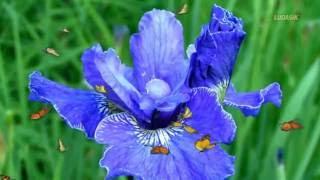 Магия цветов Ирисы