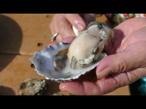 The Spokesman-Review: How to shuck a Washington oyster