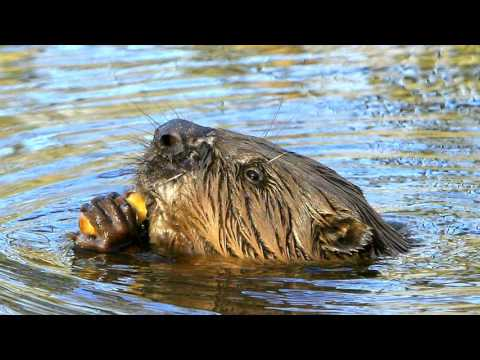 Flood Prevention and Beavers !!!!