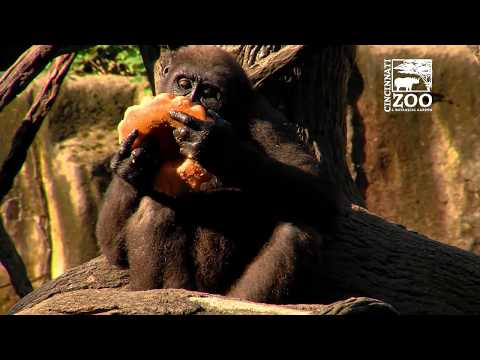 Gorillas Get Frozen Treats on a Hot Day - Cincinnati Zoo