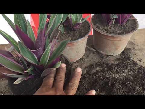 Como reproducir y cuidar la planta de ornato Maguey Rayado