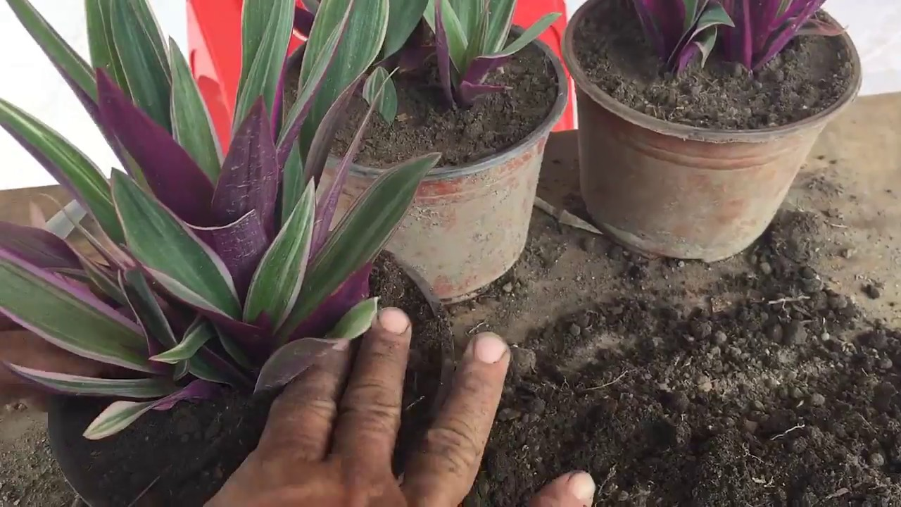 Como reproducir y cuidar la planta de ornato maguey rayado youtube - Como se planta el bambu ...