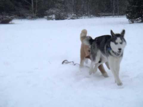 Siberian Husky Quebec Akita Inu Montr...