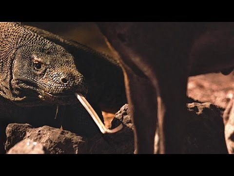 The Real Way Komodo Dragons Kill Prey