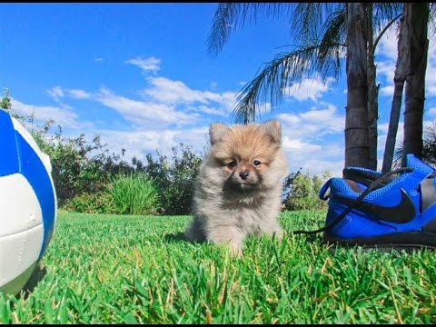 pomeranian puppies for sale in san diego pomeranian puppies for sale in san diego ca youtube 3443