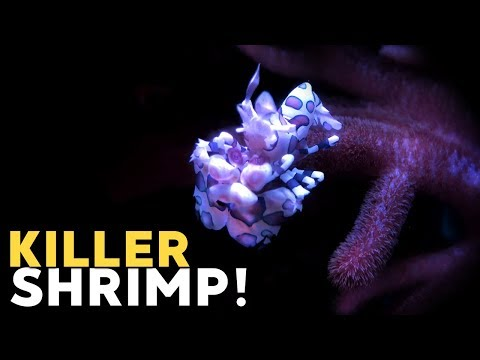 Hand-feeding Harlequin Shrimp, Removing Asterina Starfish!