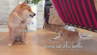 Shiro still baccfires. Shiba Inu puppies (with captions)