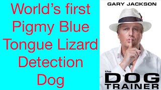 World's First Pigmy Blue Tongue Lizard Detection Dog
