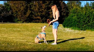 Silas the Whippet 5 years old  dog tricks