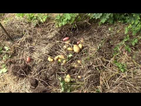 Ma r colte de pommes de terre sur gazon doovi - Pomme de terre sous paille ...