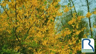 How & When to Prune Forsythia