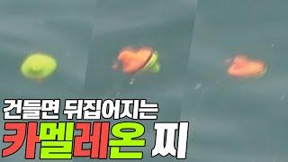 벵에돔 카멜레온찌 낚시 / 300℃ 칼맛회 / 세계최초…