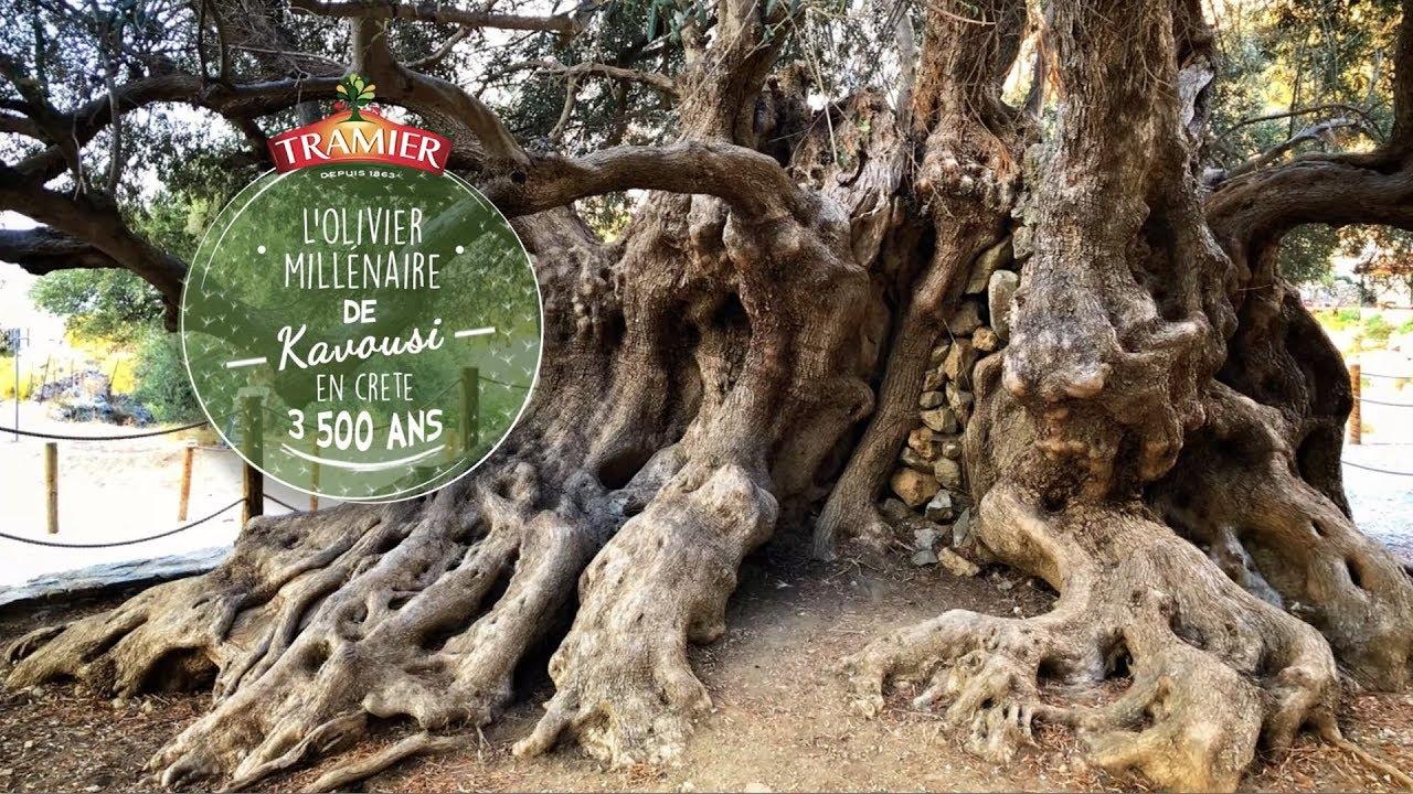 Il Cultive L Olivier les plus vieux oliviers du reste du monde