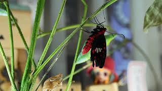 介壽國小至美樓馬兜鈴花圃撿來的蝶蛹,在教室裡陪伴3年5班10天了,今日...