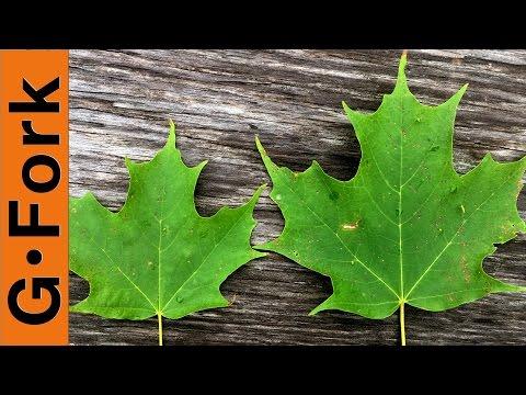 Maple Tree Identification - Make Maple Syrup - GardenFork