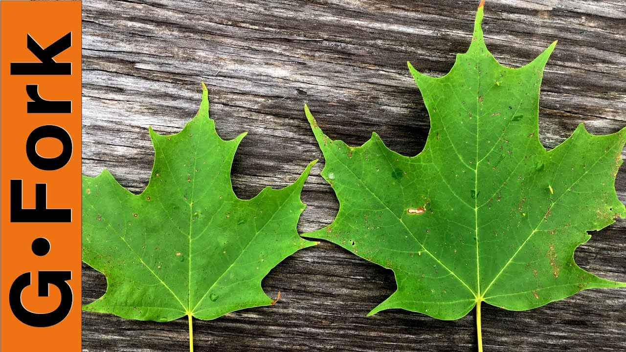 maple tree identification make maple syrup gardenfork youtube
