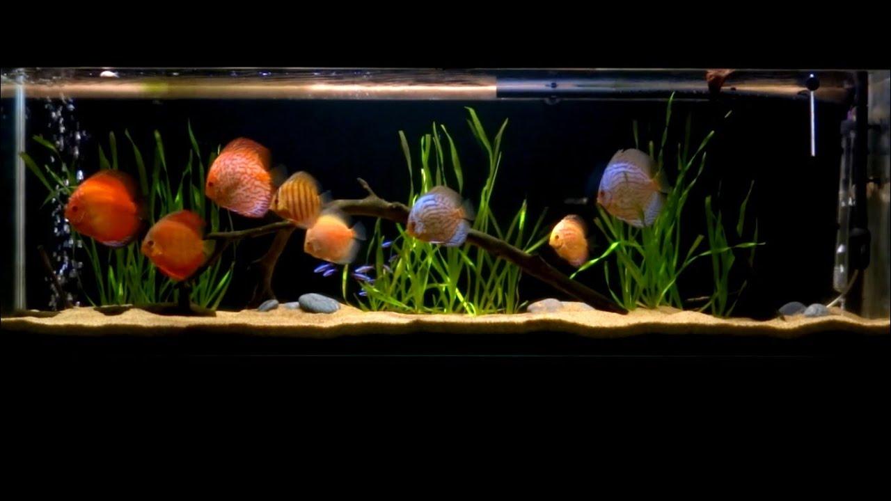 Acuario 250 litros peces disco febrero 2015 ver 1080p for Peces para acuario