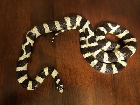 Like Snakes? Check Out This California kingsnake.