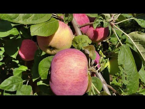 Яблоня Мельба. Прекрасный урожайный сорт яблок.