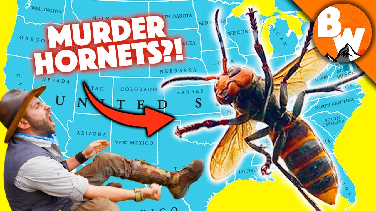 Download MURDER HORNET MADNESS! - 10 Things You NEED to know!
