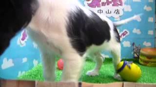 キャバリアキングチャールズスパニエル☆男の子☆トライ☆5/3生まれ♪ ペッ...
