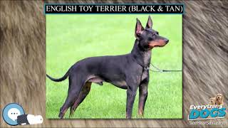 English Toy Terrier Black & Tan  Everything Dog Breeds