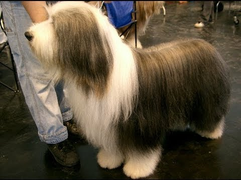 Bearded Collie Dog & Puppies information Video - Animal Videos